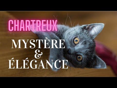 Le Chartreux, Un Chat Mystérieux Et élégant.