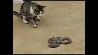 Смертельный поединок смелой кошки и ядовитой змеи, кто же победит.