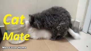 Cats Mating Compilation 2017 | Cąts on heat Video | How Cats mate