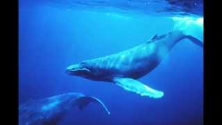 pure whale sounds - no music