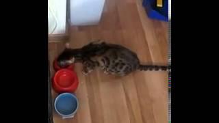 бенгальский кот бакс говорит ам-ням-ням