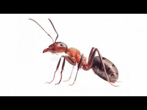 У вас муравьи в доме? Как избавиться от муравьев в квартире - все ищут это в борьбе с муравьями