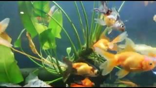 Золотые рыбки-красивое видео😍
