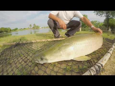 Arapaima Fly Fishing With Marcelo - Bangkok Fishing Guide