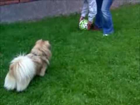 Tibetan Spaniel plays with a football