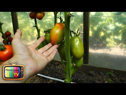 Вопрос: Правда ли, что укол водки в плод томата обеспечивает быстрое созревание?