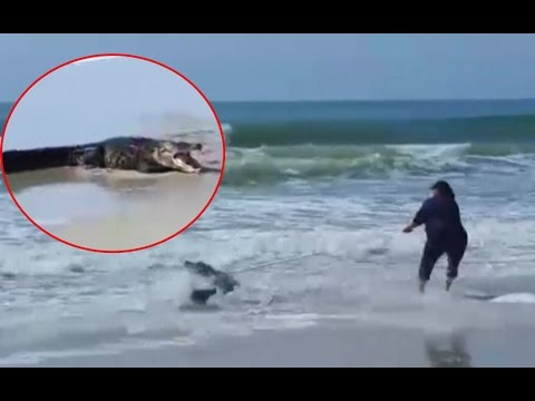 Beachgoers forced to wrestle away a 7-foot alligator