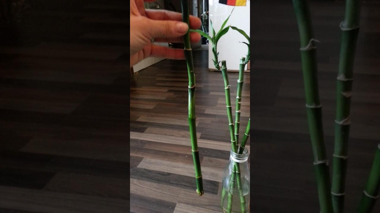 Bambus Ganz Einfach Vermehren Youtube