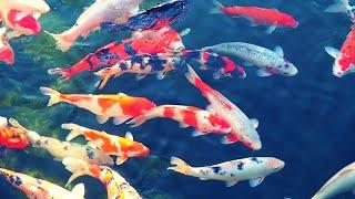 [4K] Beautiful Relax Music Sleep with Japanese Koi Carp Fish - Meditation, Study Music, Spa, Yoga screenshot 4