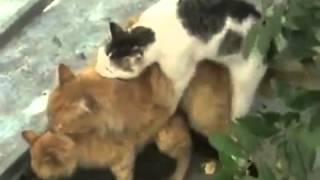 """Групповые """"забавы"""" похотливых котов"""