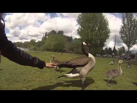 Hand Feeding Canada Geese, Ducks & Birds (Deer Lake Park, Burnaby, BC, Canada)