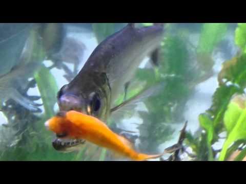 Vampire Fish Payara Tetra Eating Fish