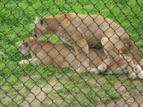 Mountain Lions at the Moncton Zoo