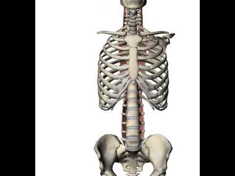 longissimus thoracis