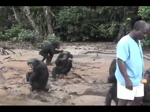 Liberia Chimp Retiring Island