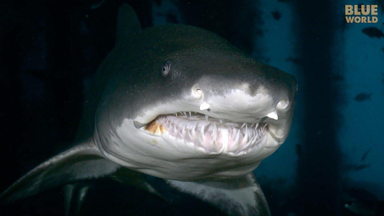Sand Tiger Sharks of North Carolina | JONATHAN BIRD'S BLUE ...  Sand Tiger Shar...