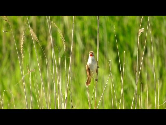 A cserregő nádiposzáta (Acrocephalus scirpaceus) Warbler