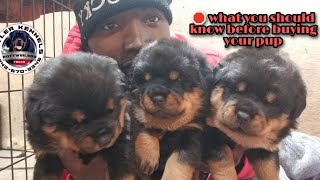 Before you buy your rottweiler puppy. You need to know this 8436703346