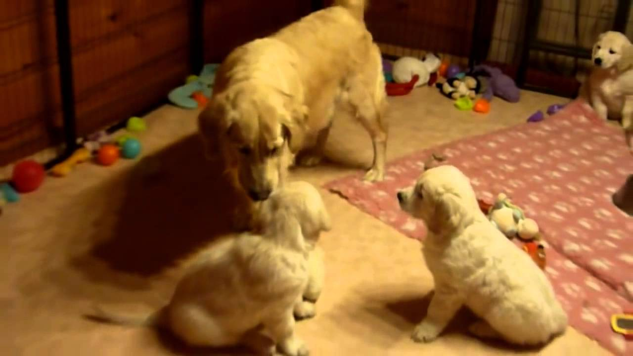 Golden Retriever Dog Mum Educating Her Puppies Funny YouTube - Golden retriever obedience competition fail