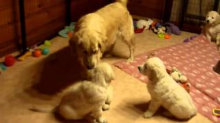 Golden Retriever Dog Mum Educating Her Puppies , Funny
