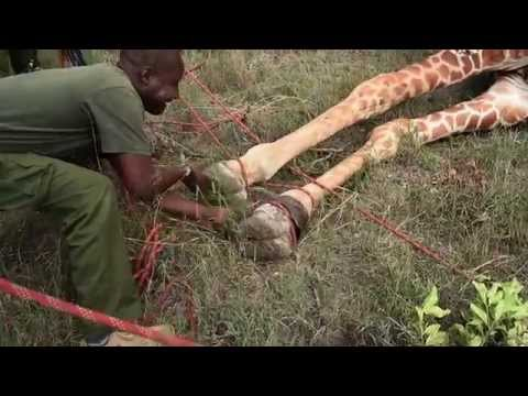 A Giraffe Had Metal Ring Eating into its Flesh: Here is the Rescue Operation