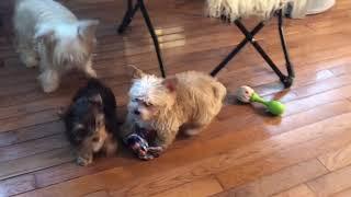 Sugar Yorkies puppies having fun