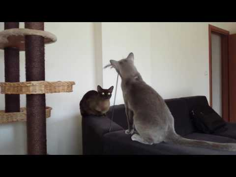 Burmese cat playing with feathers