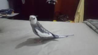 Cockatiel sings Pirates of the Caribbean and the Starwars songs