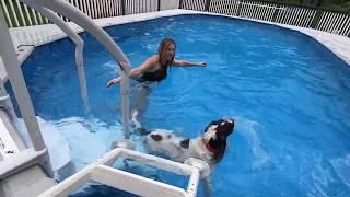 Springer Spaniel Pool Time