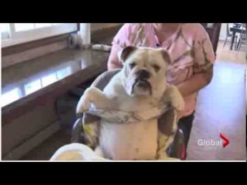 english bulldog health issues english bulldog puppy health problems youtube 5576