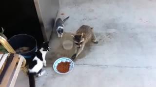Енот ворует корм у кошек