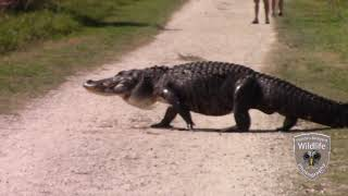 Alligator Race- Don't be caught in the middle!