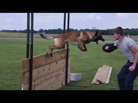 Belgian Malinois Super Dog