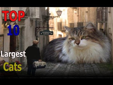 Top 10 largest cat breeds | Top 10 animals