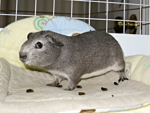 July 2016 Morning Routine: 7 Guinea Pigs & 1 Rabbit