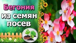 видео Вечноцветущая бегония - сорта, фото, выращивание из семян и уход за цветком