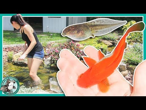 Fish Pond or Frog Pond? // POND UPDATES