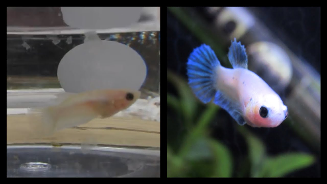 Baby betta growth log petco baby betta transformation for Betta fish petco
