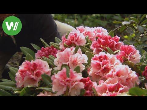 Rhododendron - Wie pflege ich sie richtig?