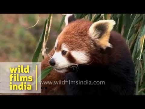 Mozilla Firefox like Red Panda - state animal of Sikkim