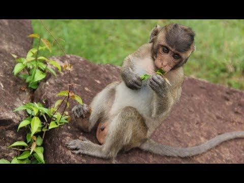 Sweet Pea Monkey with mom, Nature Daily ST 19