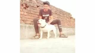 Pitbull l best l Gard l dog in Punjab l latest video 2019