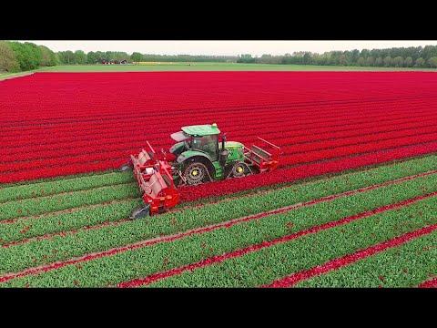 Topping Tulips | John Deere 6R on Soucy Tracks | JVS triple topper | DJ Visser bloemen Holland