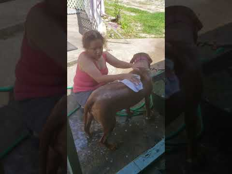 BATHING YOUR RHODESIAN RIDGEBACK