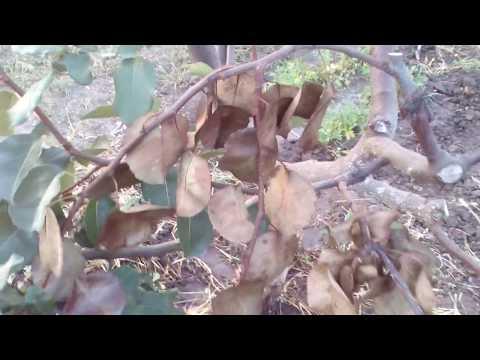 Вопрос: Болезни растений, отчего сохнет айва?