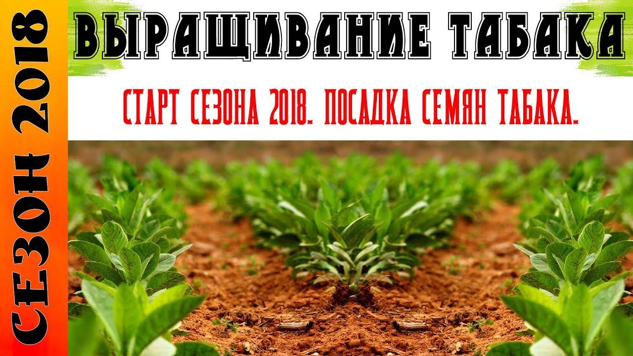 Как правильно сеять семена курительного табака на рассаду 85