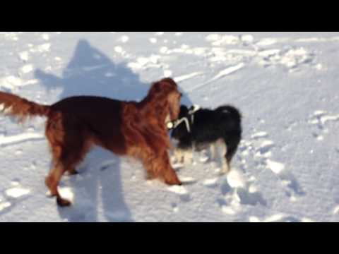 Irish Setter and Miniature Schnauzer - Best Friends