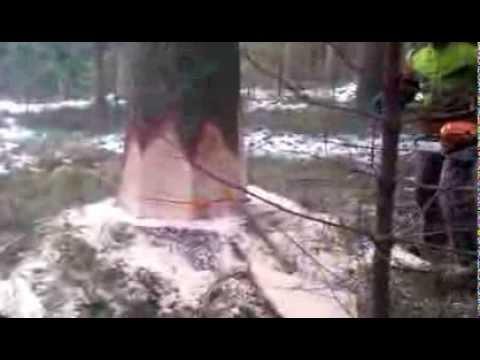 Holzfäller fällt eine Fichte