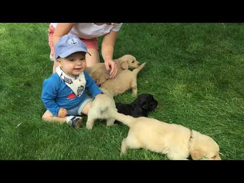 Labradoodle Goldendoodle Puppies Playing With Charlie