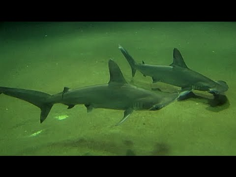 アカシュモクザメ   Scalloped hammerhead   Sphyma lewini